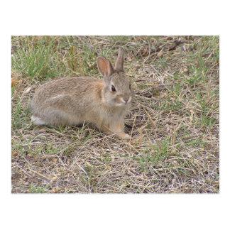 Baby Bunny Posing Postcard