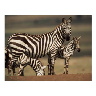 Baby Burchell's Zebra with mother Postcard
