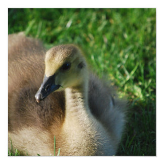 Baby Canadian Goose Invitations