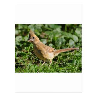Baby Cardinal Bird Postcard