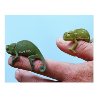 Baby chameleon perspective post card
