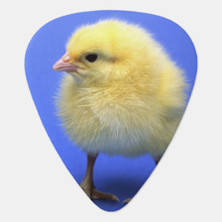 Baby chicken. plectrum