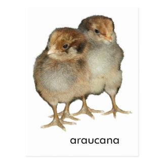 Baby chicks araucana chickens ornithology birds postcard