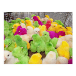 Baby Chicks In A Pen At A Market Colored By Dye Postcards