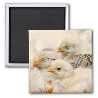 baby chicks square magnet