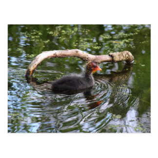 Baby Coot Postcard
