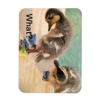 Baby Ducks looking at What? Rectangular Photo Magnet