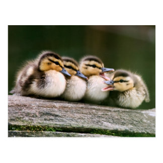 Baby Ducks On Log Of Wood Postcard