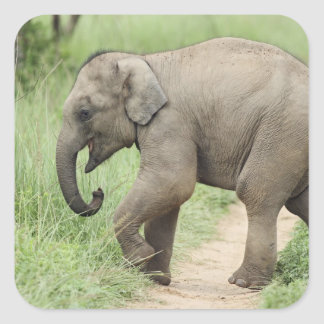 Baby Elephant following the mother,Corbett Square Stickers
