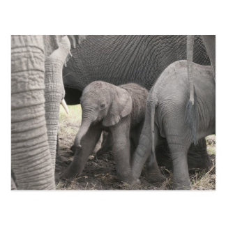 Baby elephant is standing and wobbly postcard