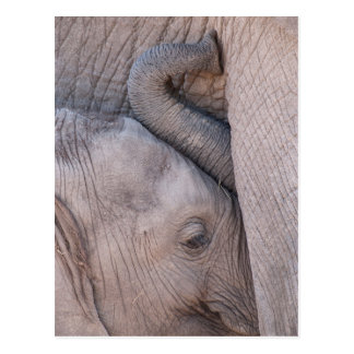 Baby Elephant Snuggles Postcard