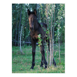 Baby foal and poplar sapling postcard