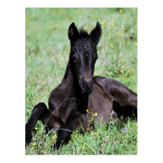 Baby foal lying in the meadow postcard