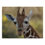 Baby Giraffe 08 Poster
