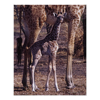 Baby giraffe and mother, Tanzania Poster
