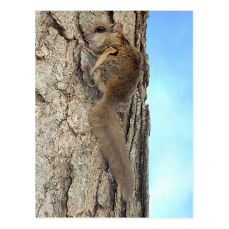 Baby Gray Squirrel Postcard