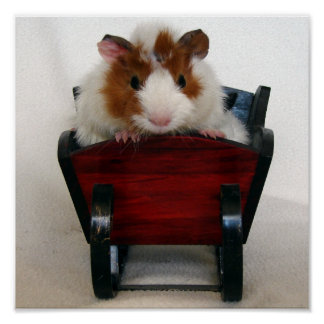 Baby Guinea Pig in Sleigh Print