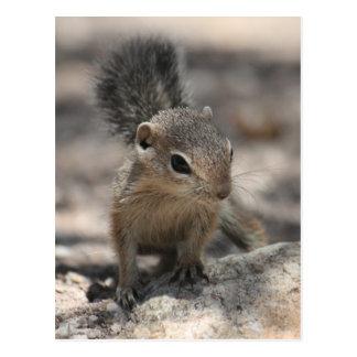 Baby Harris' Antelope Squirrel Postcard