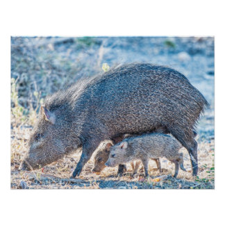 Baby Javelina Pigs And Mother In South Texas Poster