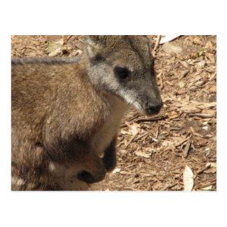 Baby Kangaroo Postcard