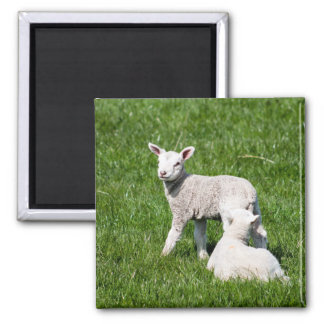 Baby Lambs Magnet