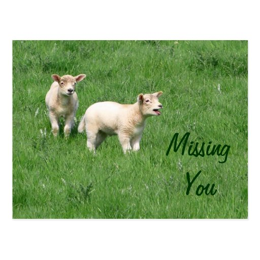Baby Lambs Postcard-Missing You
