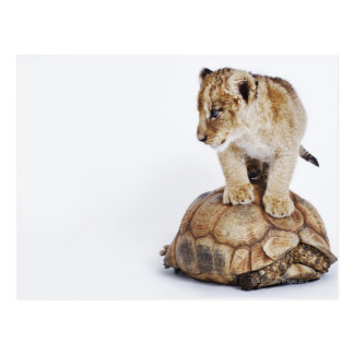 Baby lion standing on tortoise, white background postcard