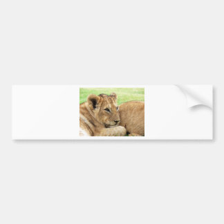 Baby Lion Young Wild Animal Bumper Sticker