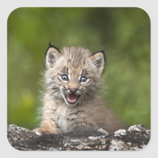 Baby Lynx (Lynx Canadensis) Looking Over A Square Sticker