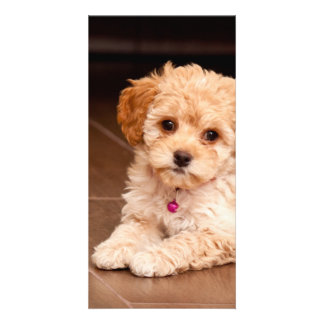 Baby Maltese poodle mix or maltipoo puppy dog Photo Card Template