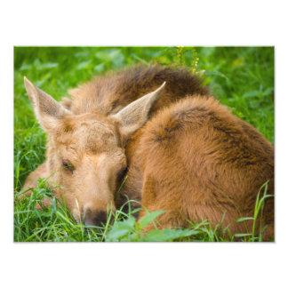 Baby Moose Sleeping In Grass, Animal Photography Photo Art