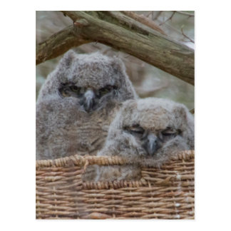 Baby Owls in a Wicker Basket Nest Postcard