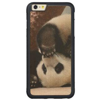 Baby pandas playing - baby panda  cute panda carved maple iPhone 6 plus bumper case