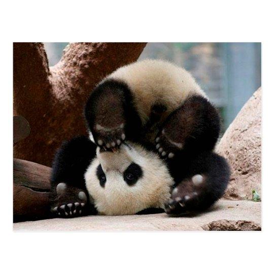 Baby pandas playing - baby panda cute panda postcard | Zazzle.com.au