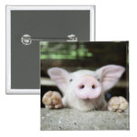 Baby Pig in Pen, Piglet Pinback Buttons