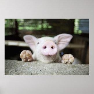 Baby Pig in Pen Piglet Print
