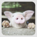 Baby Pig in Pen, Piglet Square Sticker