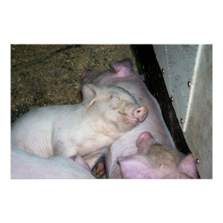 Baby pigs  posters