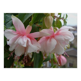 Baby Pink and White Fuschia Flowers Poster