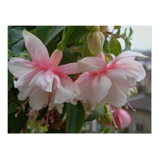 Baby Pink and White Fuschia Flowers Print