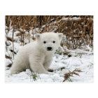 Baby Polar Bear Postcard