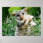 Baby Possum Caught Picking Flowers Poster
