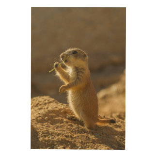Baby prairie dog eating, Arizona Wood Wall Art