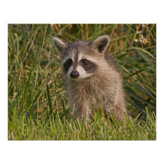 Baby Raccoon 2 Poster