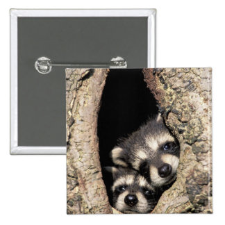 Baby raccoons in tree cavity Procyon 15 Cm Square Badge