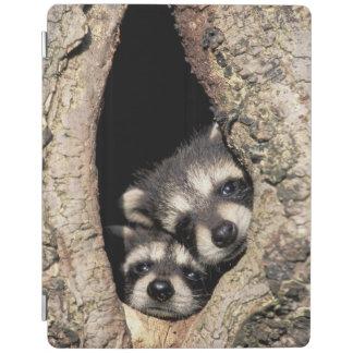 Baby raccoons in tree cavity Procyon iPad Cover