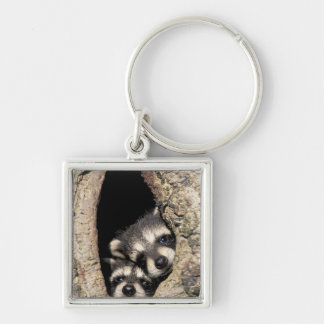 Baby raccoons in tree cavity Procyon Silver-Colored Square Key Ring