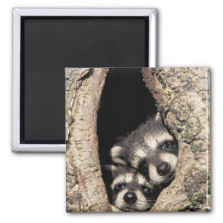 Baby raccoons in tree cavity Procyon Square Magnet