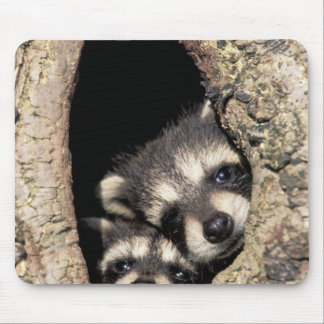 Baby raccoons in tree cavity Procyon Mouse Pad
