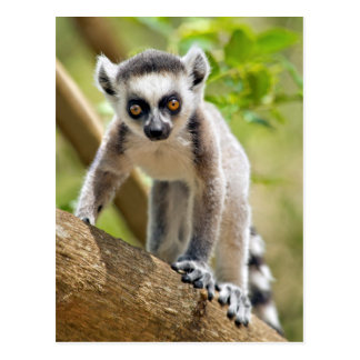 Baby ring-tailed lemur postcard